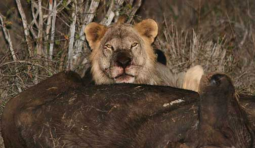 Male lion with cape buffalo kill in Tsavo National Park Kenya railroad killers man eater