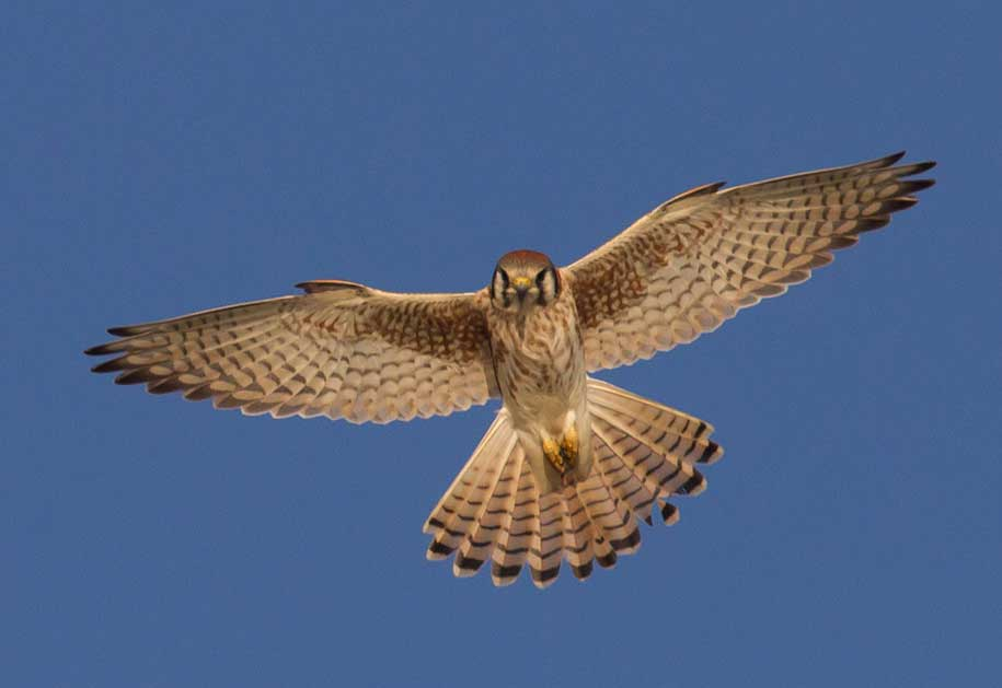 Soaring female kestrel at Bolsa Chica Conservancy Huntington Beach California