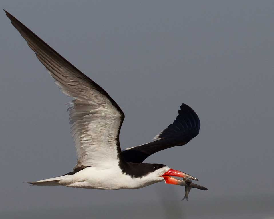Black skimmer with fish in mouth returning from fishing at Bolsa Chica Conservancy Huntington Beach California