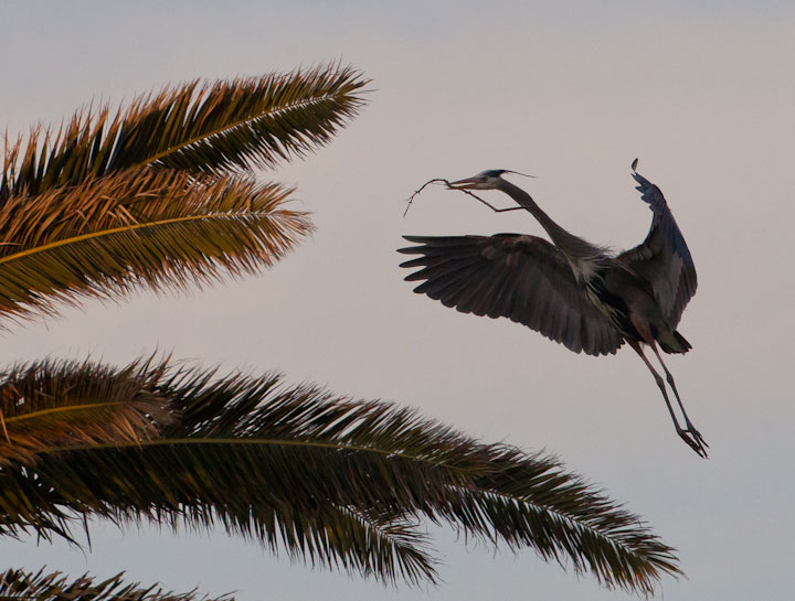 Nesting great blue heron in palm trees at Bolsa Chica Conservancy Huntington Beach California