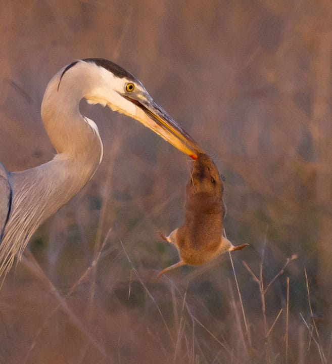 Great blue heron eating a gopher at Bolsa Chica Conservancy Huntington Beach California