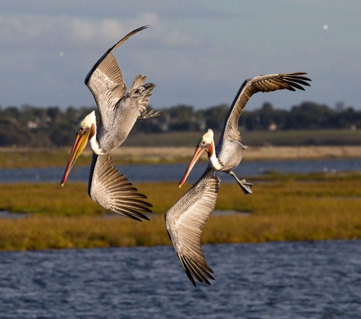 Diving California brown pelicans at Bolsa Chica Conservancy Huntington Beach California