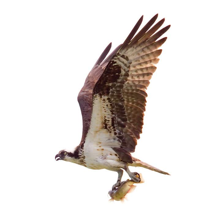 Osprey with fish in talons returning from a successful hunt
