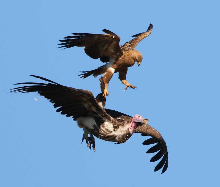 Tawny eagle chasing Nubian vulture away from its nest
