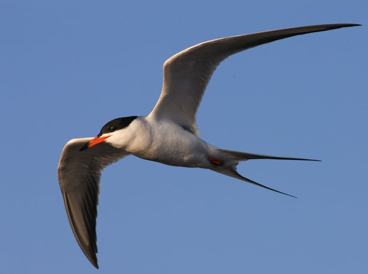 Forester's tern soaring over fish at Bolsa Chica Conservancy in Huntington Beach CA