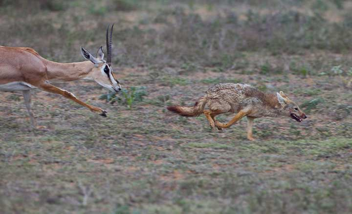 Jackal eating gazelle