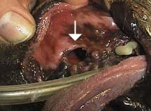 Can A Tooth Abscess In Dog Be Life Threatening