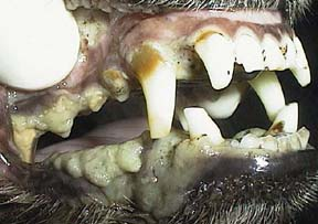 Dog with pale gums
