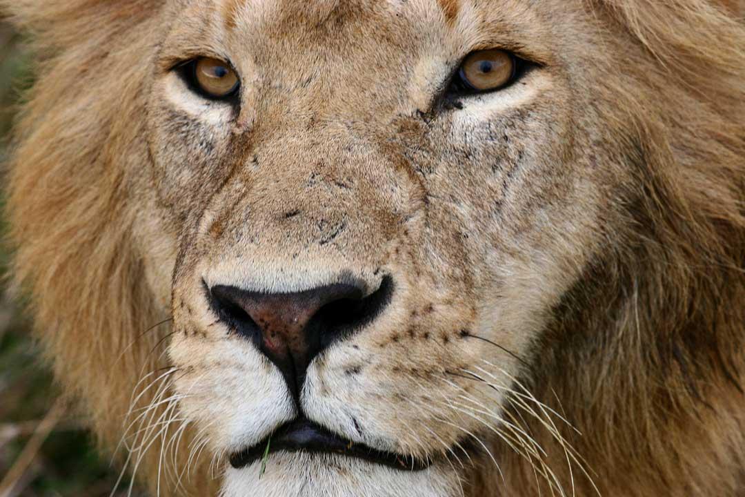 The beautiful lions of the Masai Mara | Long Beach Animal ... Ear Mites In Golden Retrievers