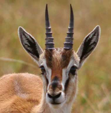 wallpapers of cute deers  thomson's gazelle gallery