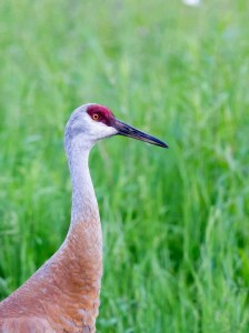 Sandhill crane feeding in tall grass in northern Michigan