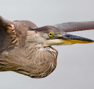 Extreme close up of great blue heron flying past us
