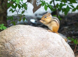 Chipmunk feeding on rock in northern Michigan