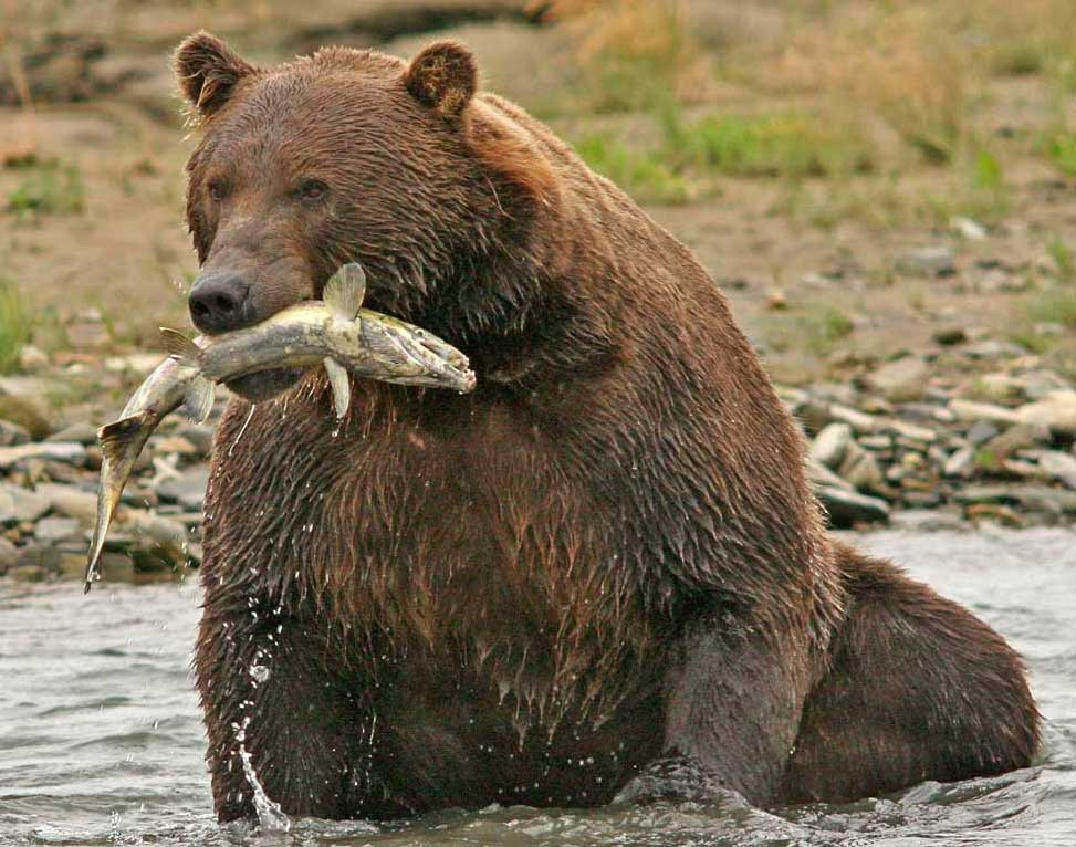 Male coastal brown bear grizzly at Halo Bay in Katmai Alaska fishing for and eating salmon