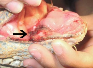 Mouth Of Iguana With Tumor