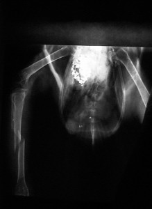 X-ray of bird fractured shin bone