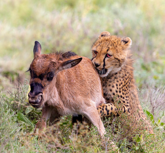 Cheetah Hunting a Wildebeest Calf