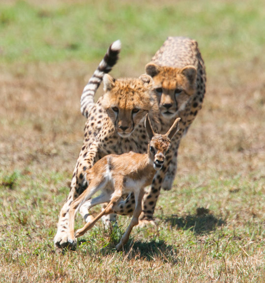 Yearling Cheetah Hunting a Gazelle