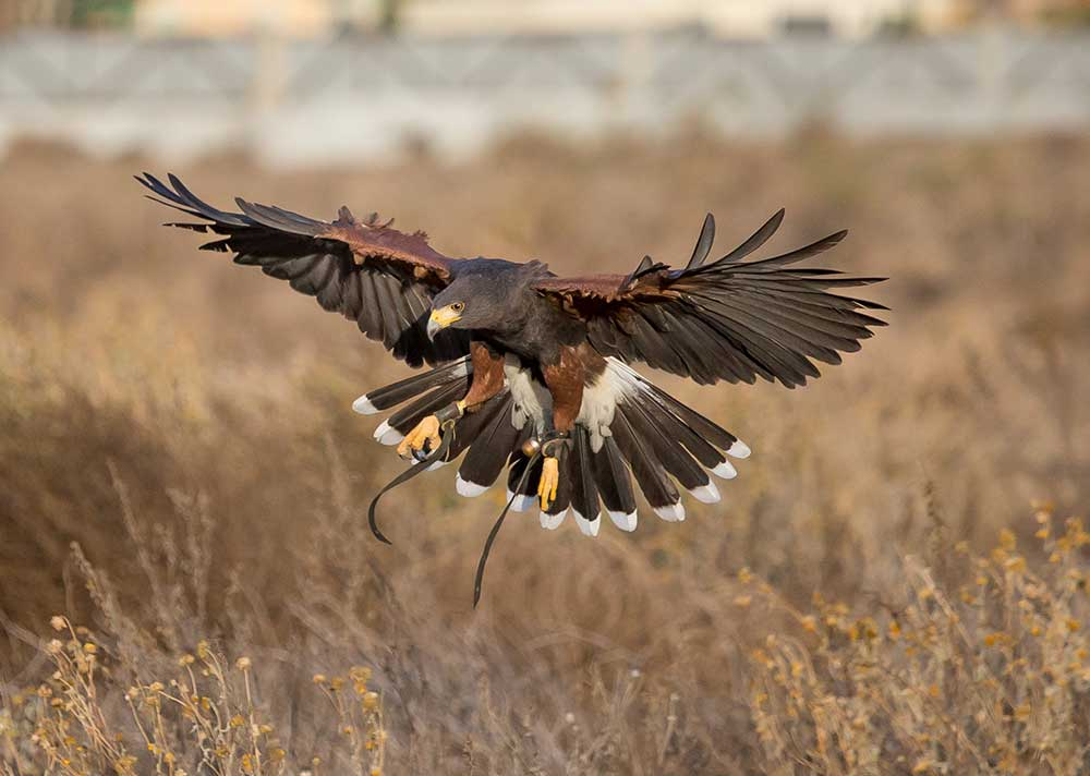 Harris's hawk soaring over rabbit prey