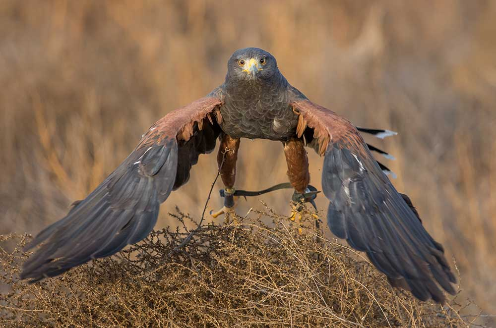 Harris's hawk looking for prey of rabbits
