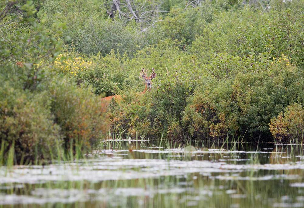 Whitetail deer buck partially hidden in bushes at the edge of the Maple river in Harbor Springs northern Michigan
