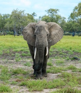 African elephant in the Selous Tanzania