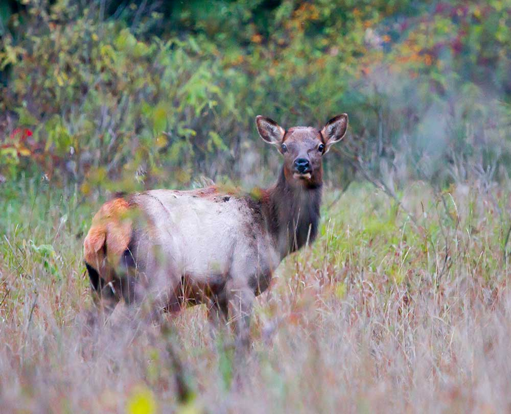 Female elk staring at us surrounded by fall colors at Pigeon River State Forest in northern Michigan