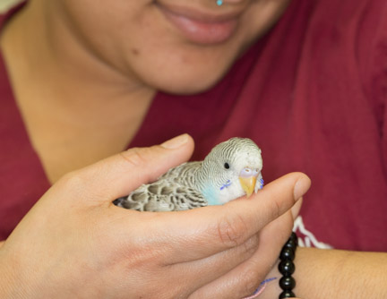 Parakeet being gently held