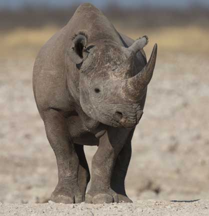 Black Rhino Face
