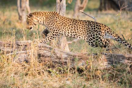A leopard running over a log chasing its prey