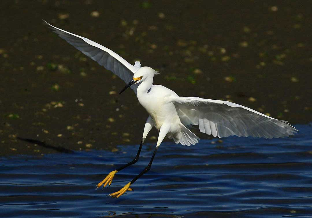 Yellow feet of snowy egret landing at Bolsa Chica Conservancy Huntington Beach California