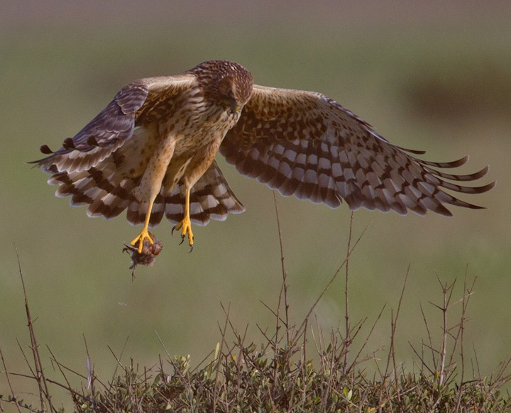 Norther harrier with pigeon in talons at Bolsa Chica Conservancy Huntington Beach California