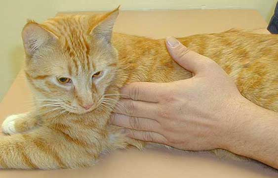 Lymph Nodes In Cats Pictures