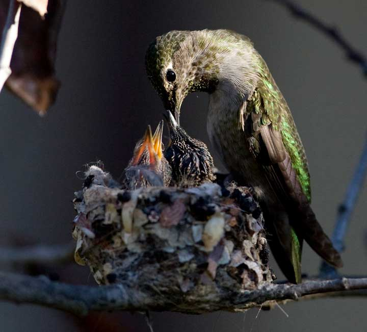 Anna's hummingbird feeding chick at Bolsa Chica Conservancy Huntington Beach California