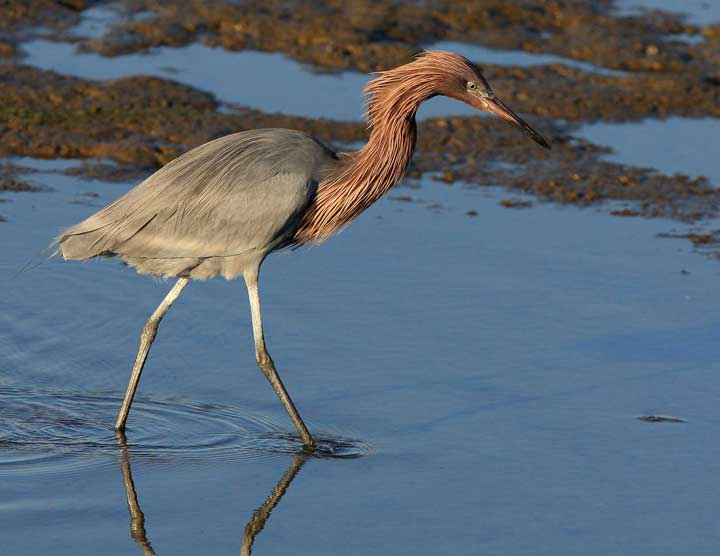 Reddish egret looking for fish in the water at Bolsa Chica Conservancy in Huntington Beach CA