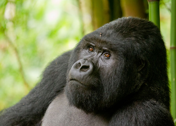 Male silverback gorilla in Volcanoes National Park Rwanda