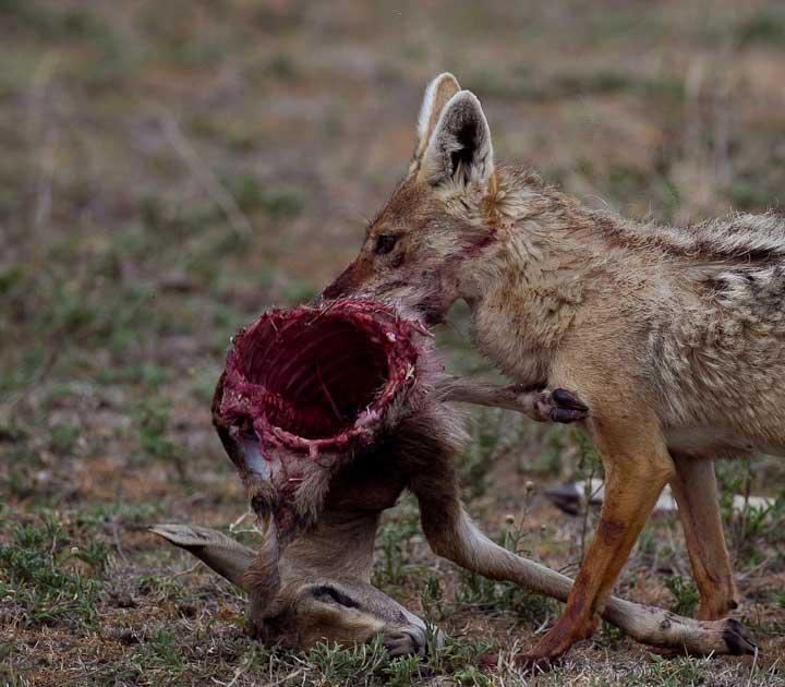 Jackal eating gazelle silent video