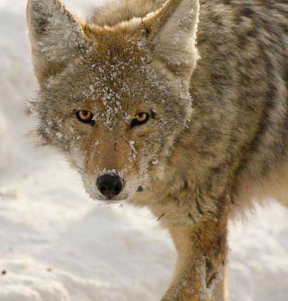 Coyote in Yellowstone National Park Wyoming in winter