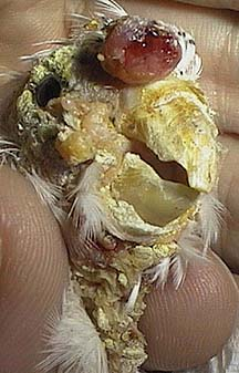 Head of a bird distorted by this mite