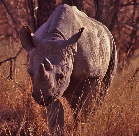 Endangered black rhino Hwange National Park Zimbabwe