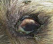 Green Gunk From Dogs Eye