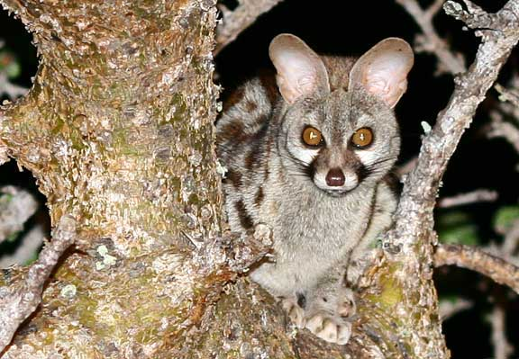 Night shot of Genet cat in a tree in Africa