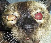 My Cats Eyes Stay Dilated