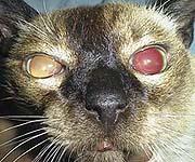 Elderly Cat Eyes Dilated