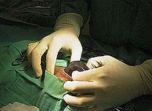 guinea pig uterus