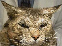 Is Mange In Cats Contagious To Dogs