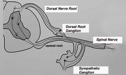 Diagram of dorsal root ganglia