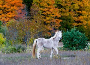 Gorgeous white horse with fall colors in background in northern Michigan