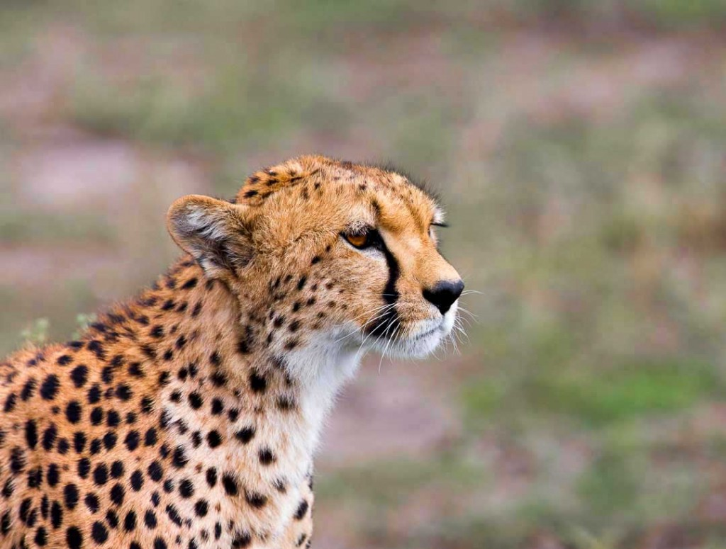 Female cheetah on the prowl in Serengeti National Park Tanzania