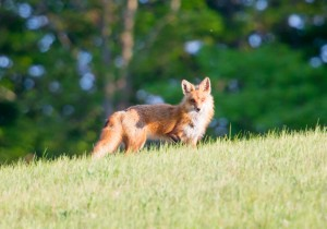 Adult red fox on the prowl in northern Michigan
